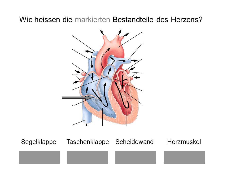 Segelklappe Taschenklappe Scheidewand Herzmuskel