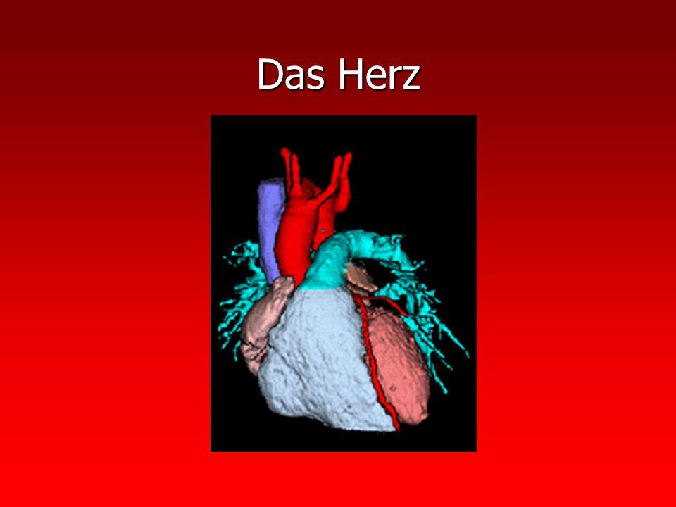 Das Herz Aufbau: Aufbau: Herz = Hohlmuskel mit 4 unterschiedlich großen Hohlräumen Rechter u.