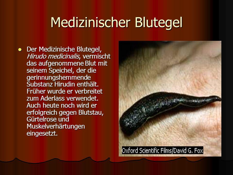 Der Blutegel Hirudo officinalis lebt am Grund stehender Gewässer. Der abgeplattete, segmentierte Körper ist am Vorder- und Hinterende mit je einer Sau