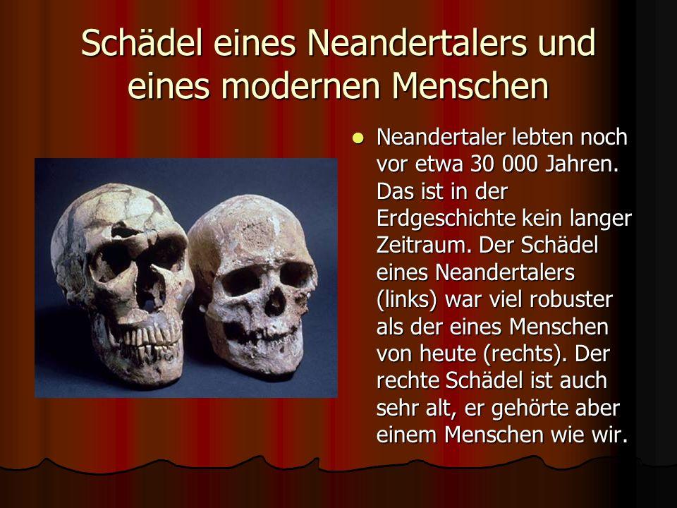 Schädel eines Neandertalers und eines modernen Menschen Neandertaler lebten noch vor etwa 30 000 Jahren.