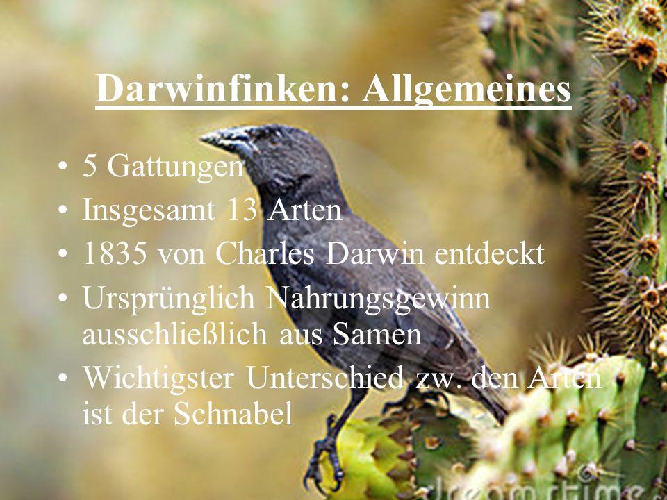 Darwinfinken: Allgemeines 5 Gattungen Insgesamt 13 Arten 1835 von Charles Darwin entdeckt Ursprünglich Nahrungsgewinn ausschließlich aus Samen Wichtig