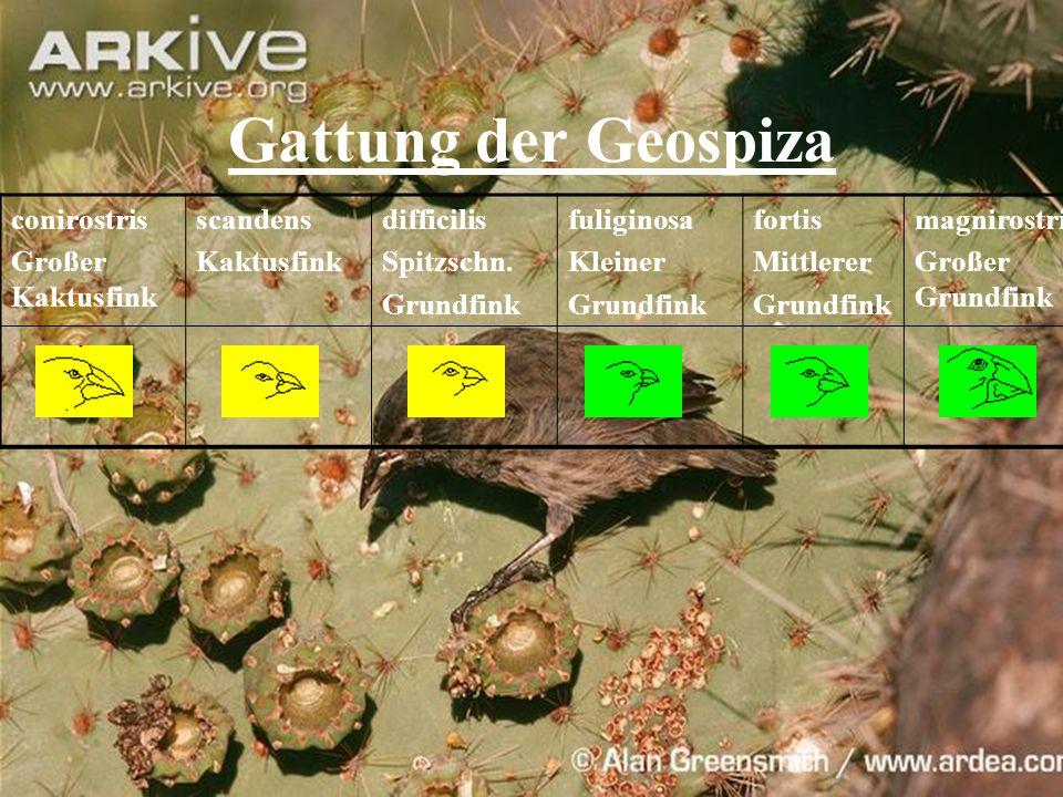 Gattung der Geospiza conirostris Großer Kaktusfink scandens Kaktusfink difficilis Spitzschn. Grundfink fuliginosa Kleiner Grundfink fortis Mittlerer G