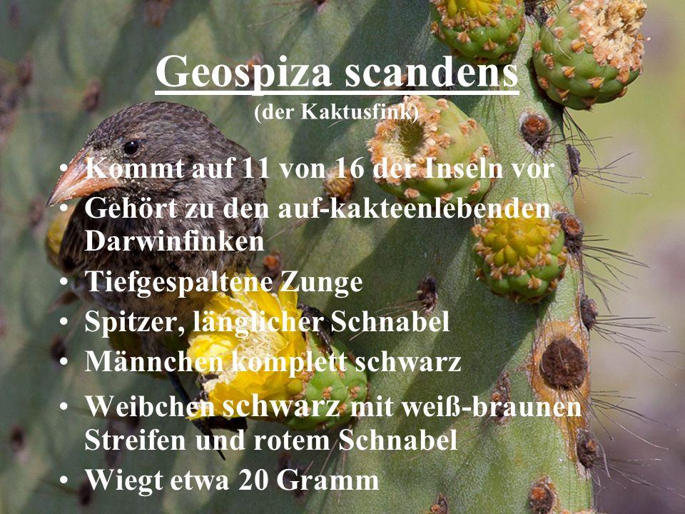 Geospiza scandens (der Kaktusfink) Kommt auf 11 von 16 der Inseln vor Gehört zu den auf-kakteenlebenden Darwinfinken Tiefgespaltene Zunge Spitzer, län