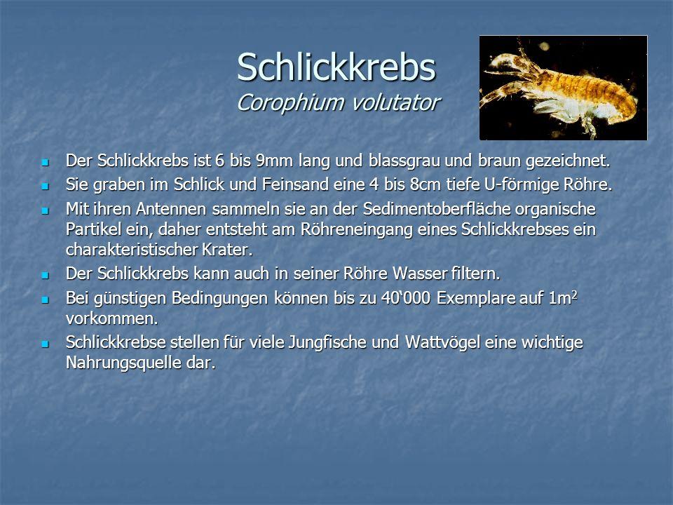 Schlickkrebs Corophium volutator Der Schlickkrebs ist 6 bis 9mm lang und blassgrau und braun gezeichnet. Der Schlickkrebs ist 6 bis 9mm lang und blass