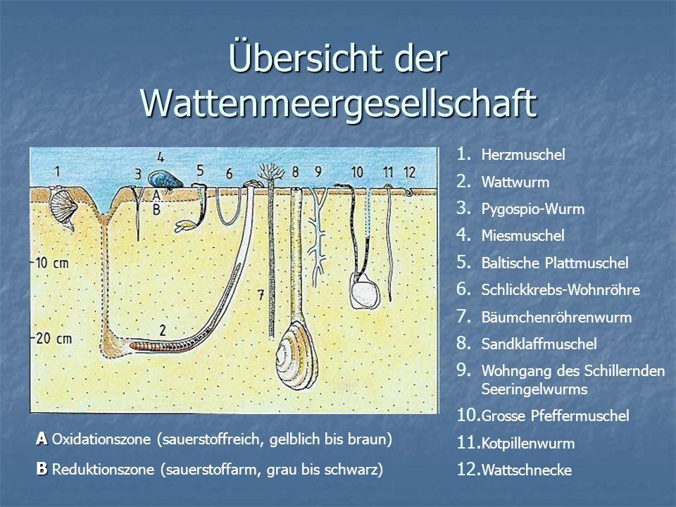 Übersicht der Wattenmeergesellschaft 1. Herzmuschel 2. Wattwurm 3. Pygospio-Wurm 4. Miesmuschel 5. Baltische Plattmuschel 6. Schlickkrebs-Wohnröhre 7.