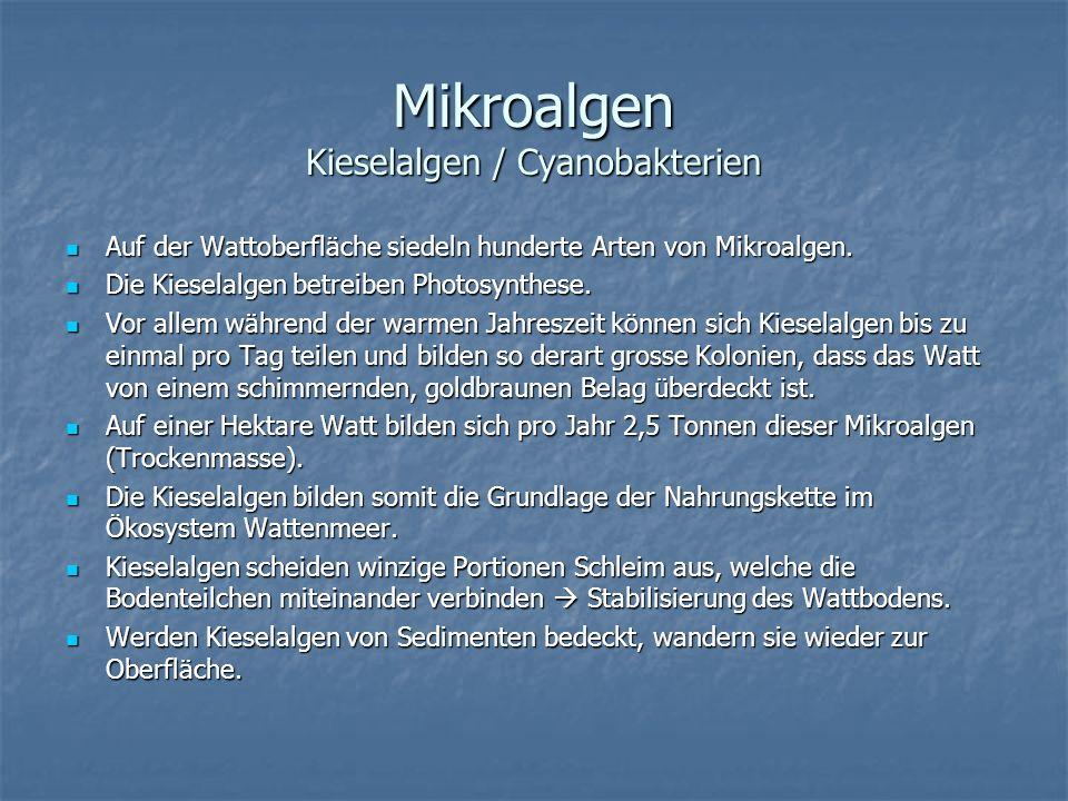 Mikroalgen Kieselalgen / Cyanobakterien Auf der Wattoberfläche siedeln hunderte Arten von Mikroalgen. Auf der Wattoberfläche siedeln hunderte Arten vo