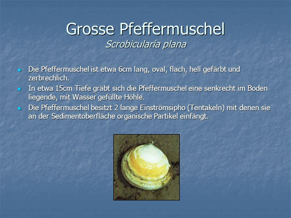 Grosse Pfeffermuschel Scrobicularia plana Die Pfeffermuschel ist etwa 6cm lang, oval, flach, hell gefärbt und zerbrechlich. Die Pfeffermuschel ist etw