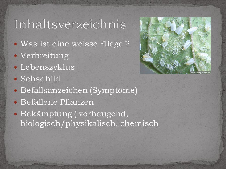 Was ist eine weisse Fliege ? Verbreitung Lebenszyklus Schadbild Befallsanzeichen (Symptome) Befallene Pflanzen Bekämpfung ( vorbeugend, biologisch/phy