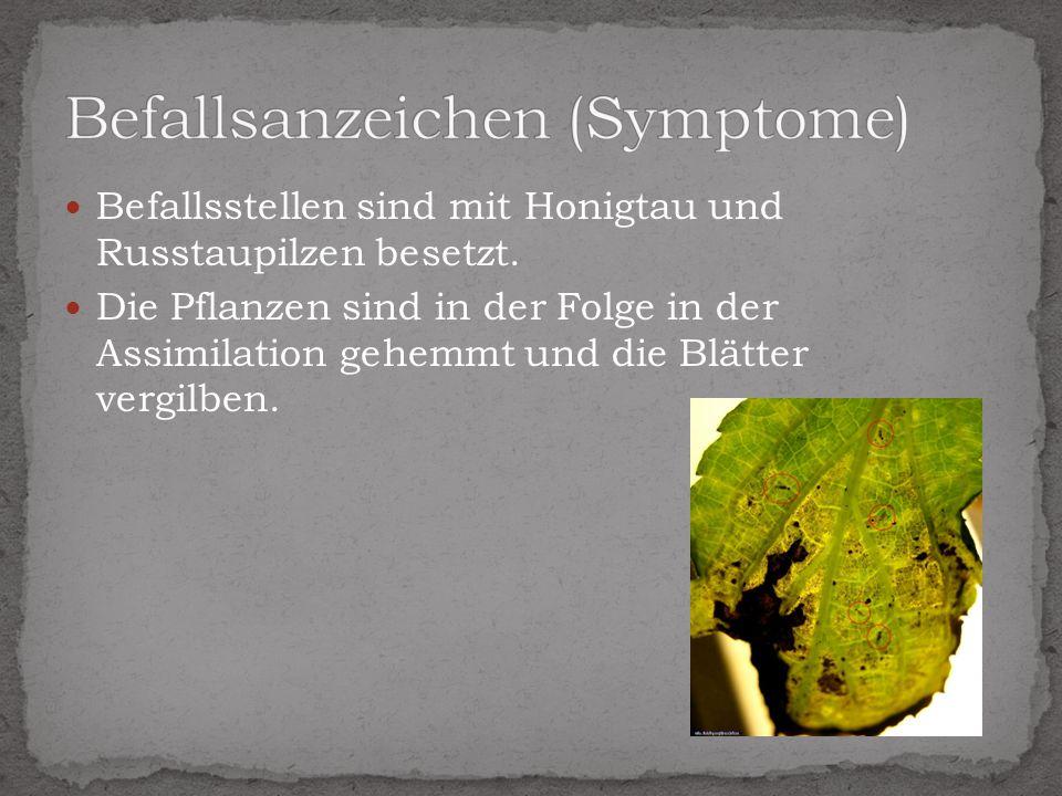 Befallsstellen sind mit Honigtau und Russtaupilzen besetzt. Die Pflanzen sind in der Folge in der Assimilation gehemmt und die Blätter vergilben.