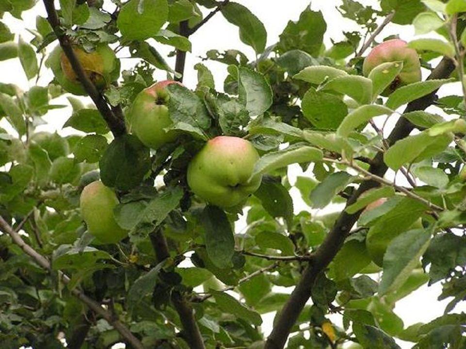 Der dritte Sohn berichtete, dass der Baum mit reifenden Äpfel überladen war.