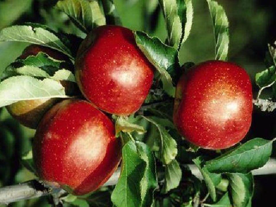 Der vierte Sohn beschrieb einen Baum mit vielen reifen Früchten, voller Leben und Erfüllung.