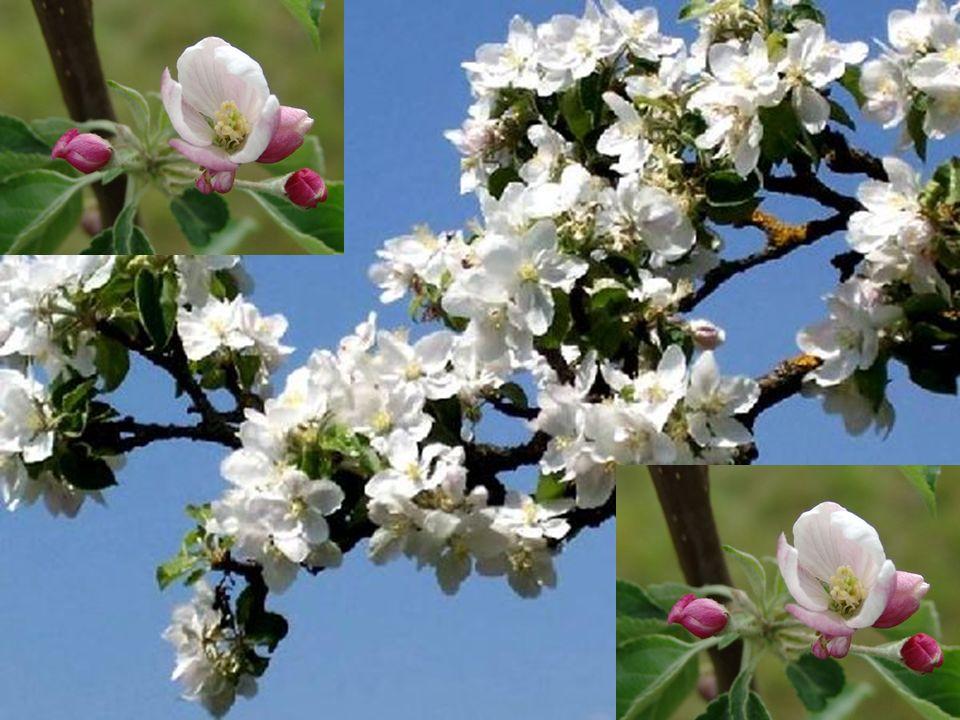 Der zweite Sohn erzählte, dass der Baum mit vielen Knospen bedeckt und voller Verheissung auf viele süss riechende Blüten und so schön anzusehen war.