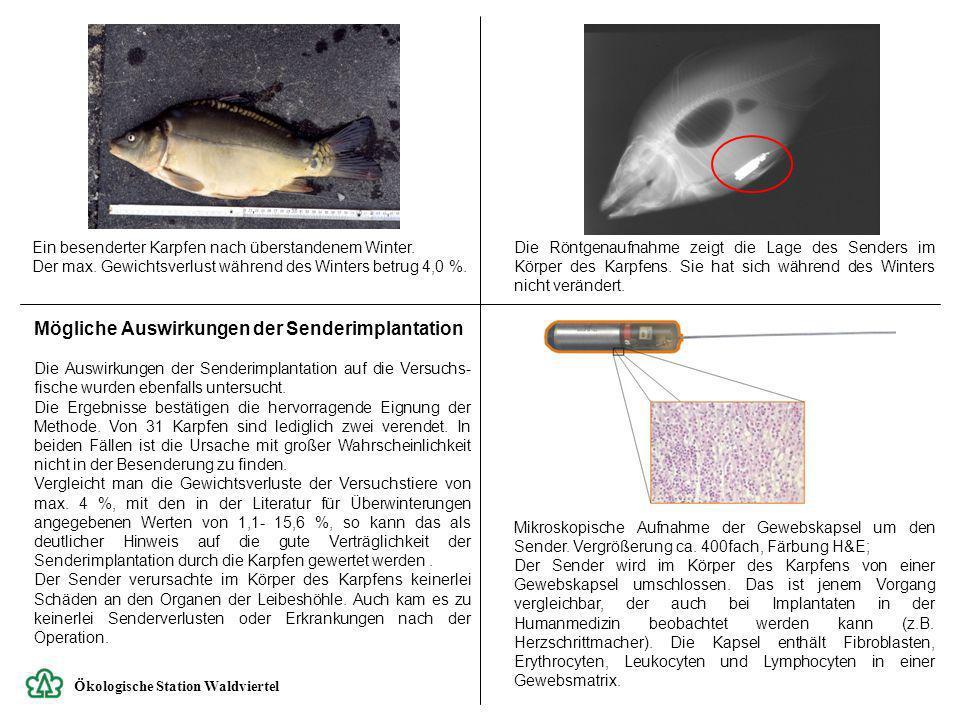 Ökologische Station Waldviertel Mögliche Auswirkungen der Senderimplantation Die Auswirkungen der Senderimplantation auf die Versuchs- fische wurden e