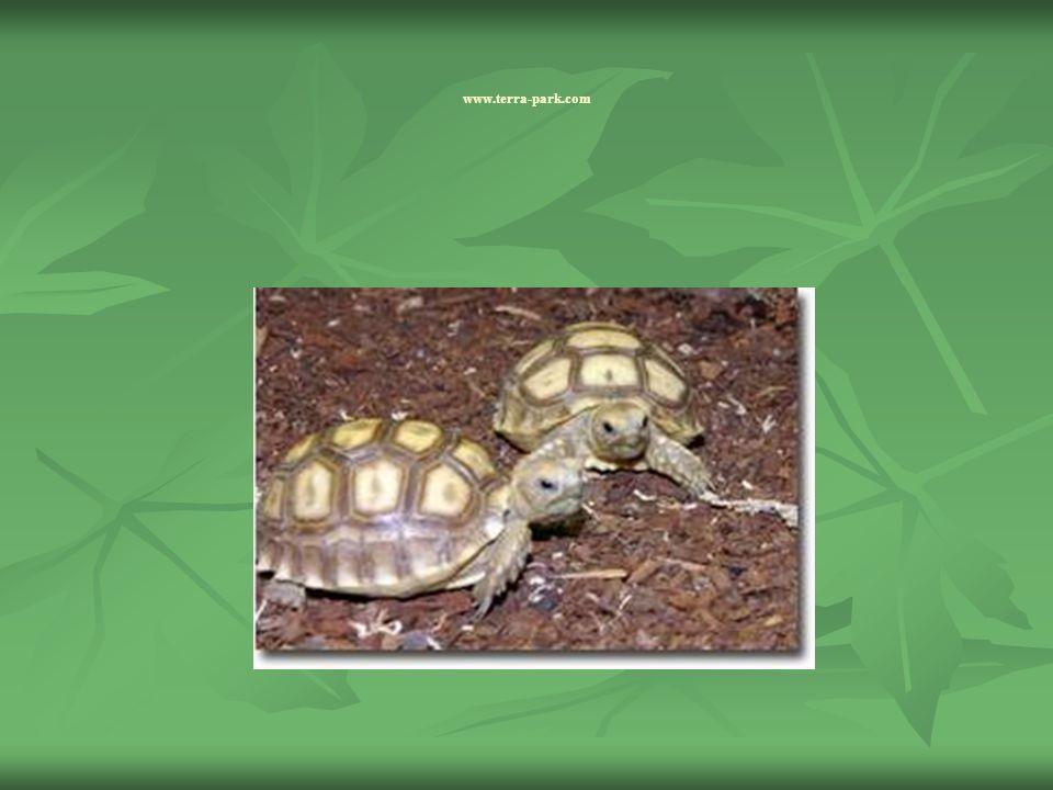 Gefährdung Die Spornschildkröte wird als gefährdet und als bedrohte Art geführt.
