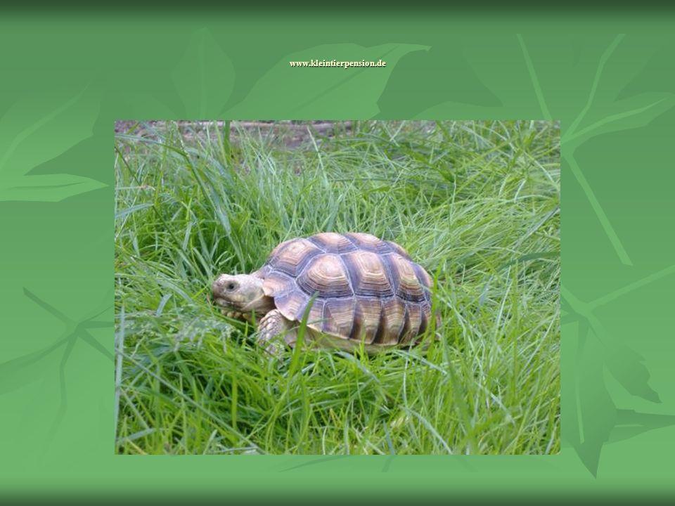 Verbreitung und Lebensraum Das Verbreitungsgebiet der Spornschildkröte ist die afrikanische Sahelzone, die im Süden an die Sahara angrenzt z.B.: Äthiopien, Ägypten, Benin, Eritrea, Mali, Mauretanien, Niger, Nigeria, Senegal, Somalia, Sudan, Tschad und Togo.