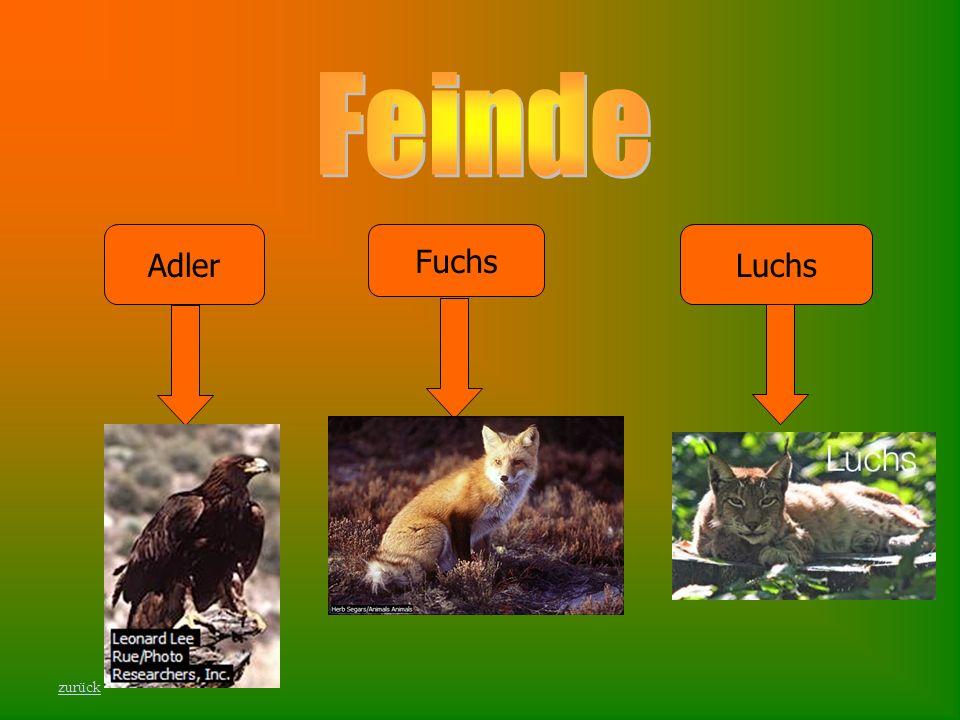 Adler Fuchs Luchs zurück