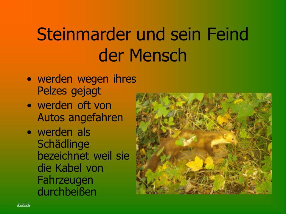 Steinmarder und sein Feind der Mensch werden wegen ihres Pelzes gejagt werden oft von Autos angefahren werden als Schädlinge bezeichnet weil sie die K
