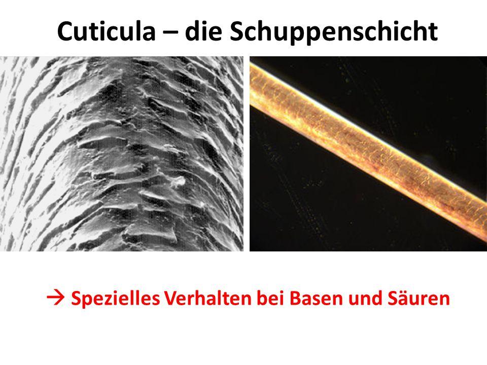Cuticula – die Schuppenschicht Spezielles Verhalten bei Basen und Säuren Quellung Aufquellen mit leichten Basen Entquellen mit leichten Säuren