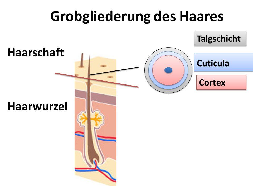 Mikrofibrille Cortex Makrofibrille Cuticula Cortex – der Faserstamm = Keratin