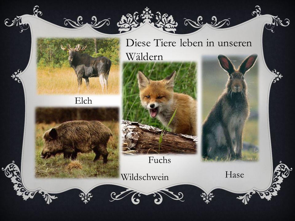 Elch Hase Wildschwein Diese Tiere leben in unseren Wäldern Fuchs