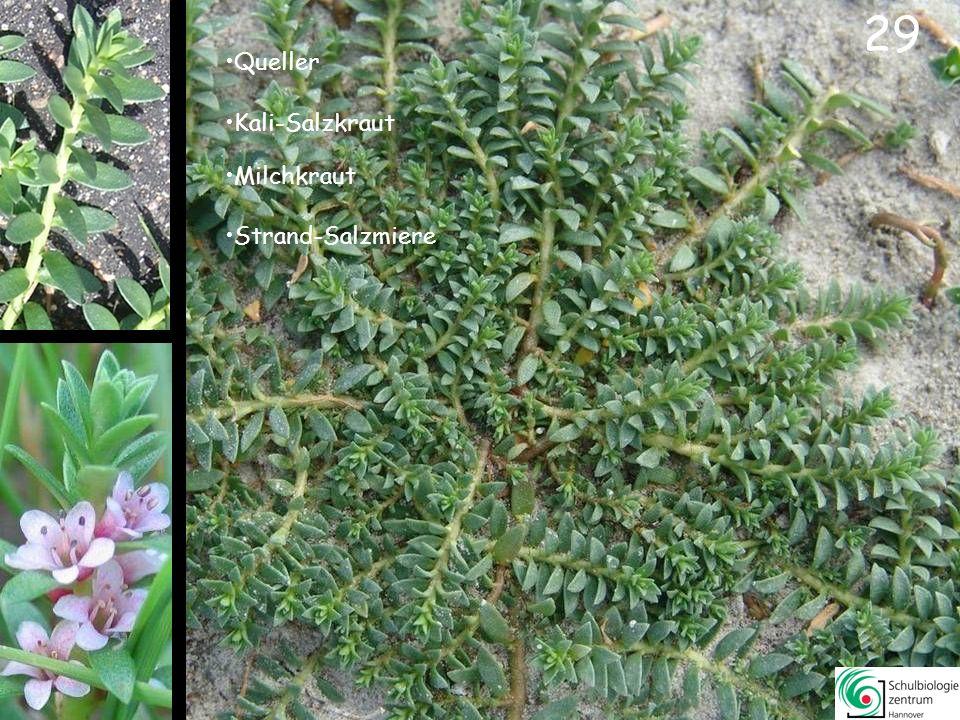 28 Andel (-gras) Seegras Salzsimse Spartina-/Schlickgras