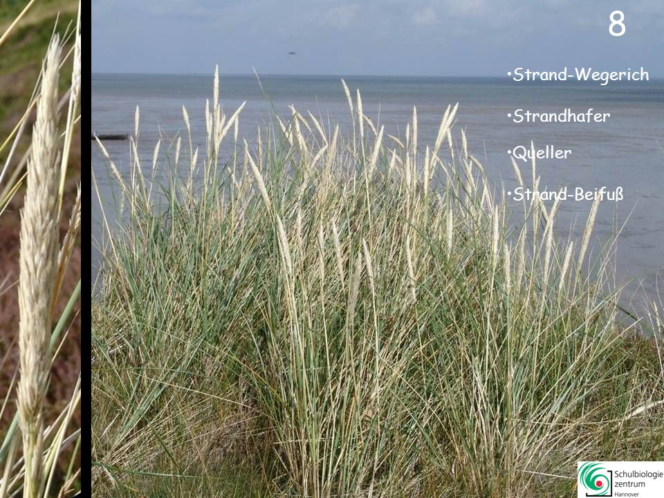8 8 Strand-Wegerich Strandhafer Queller Strand-Beifuß