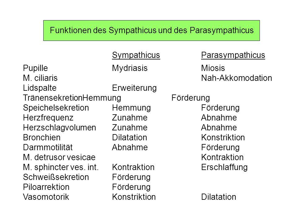 Funktionen des Sympathicus und des Parasympathicus SympathicusParasympathicus PupilleMydriasisMiosis M. ciliarisNah-Akkomodation LidspalteErweiterung