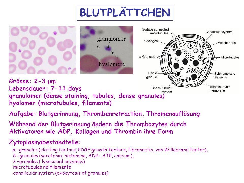 hyalomere granulomer e BLUTPLÄTTCHEN Grösse: 2-3 μm Lebensdauer: 7-11 days granulomer (dense staining, tubules, dense granules) hyalomer (microtubules, filaments) Aufgabe: Blutgerinnung, Thrombenretraction, Thromenauflösung Während der Blutgerinnung ändern die Thrombozyten durch Aktivatoren wie ADP, Kollagen und Thrombin ihre Form Zytoplasmabestandteile: α –granules (clotting factors, PDGF growth factors, fibronectin, von Willebrand factor), δ –granules (serotonin, histamine, ADP-, ATP, calcium), λ –granules ( lysosomal enzymes) microtubules nd filaments canalicular system (exocytosis of granules)