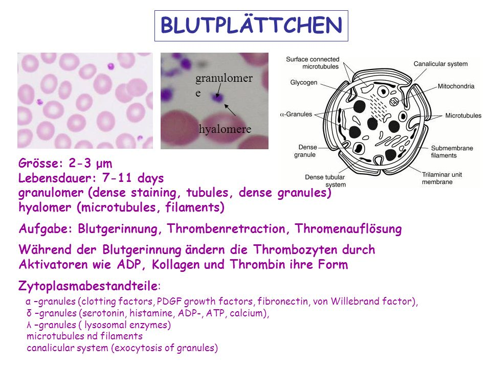 hyalomere granulomer e BLUTPLÄTTCHEN Grösse: 2-3 μm Lebensdauer: 7-11 days granulomer (dense staining, tubules, dense granules) hyalomer (microtubules