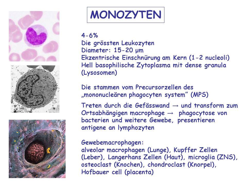 MONOZYTEN 4-6% Die grössten Leukozyten Diameter: 15-20 μm Ekzentrische Einschnürung am Kern (1-2 nucleoli) Hell basophilische Zytoplasma mit dense granula (Lysosomen) Die stammen vom Precursorzellen desmononucleären phagocyten system (MPS) Treten durch die Gefässwand und transform zum Ortsabhängigen macrophage phagocytose von bacterien und weitere Gewebe, presentieren antigene an lymphozyten Gewebemacrophagen: alveolar macrophagen (Lunge), Kupffer Zellen (Leber), Langerhans Zellen (Haut), microglia (ZNS), osteoclast (Knochen), chondroclast (Knorpel), Hofbauer cell (placenta)