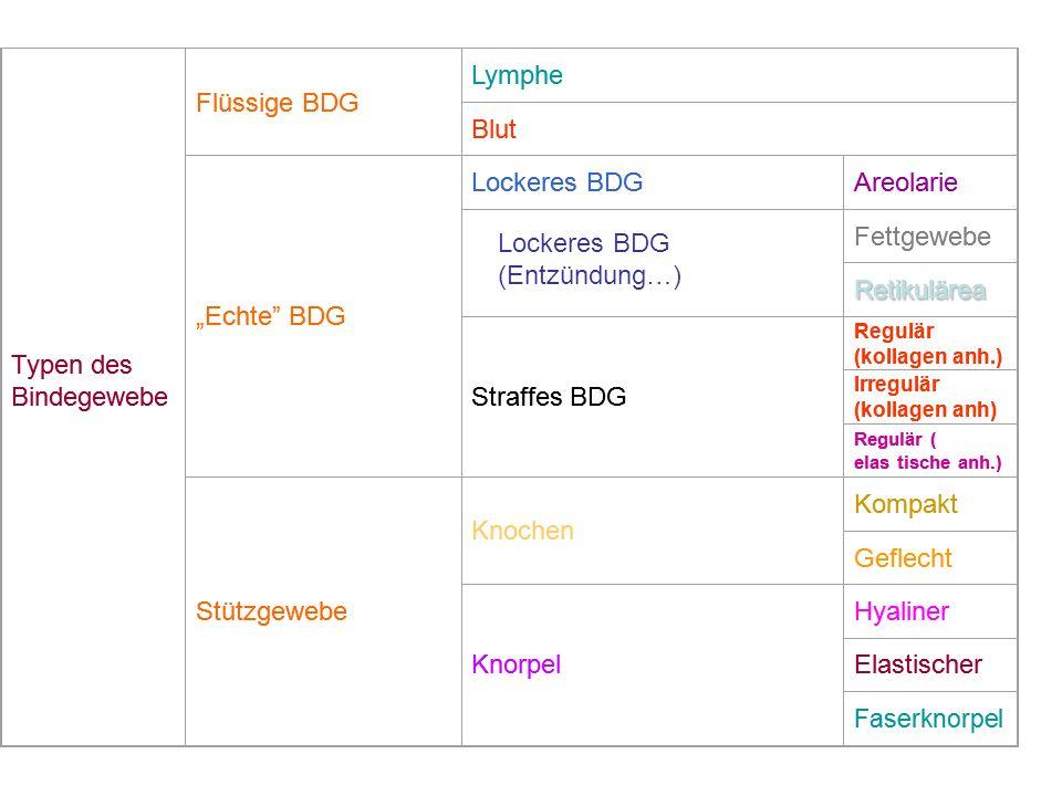 Typen des Bindegewebe Flüssige BDG Lymphe Blut Echte BDG Lockeres BDGAreolarie Fettgewebe Retikulärea Straffes BDG Regulär (kollagen anh.) Irregulär (