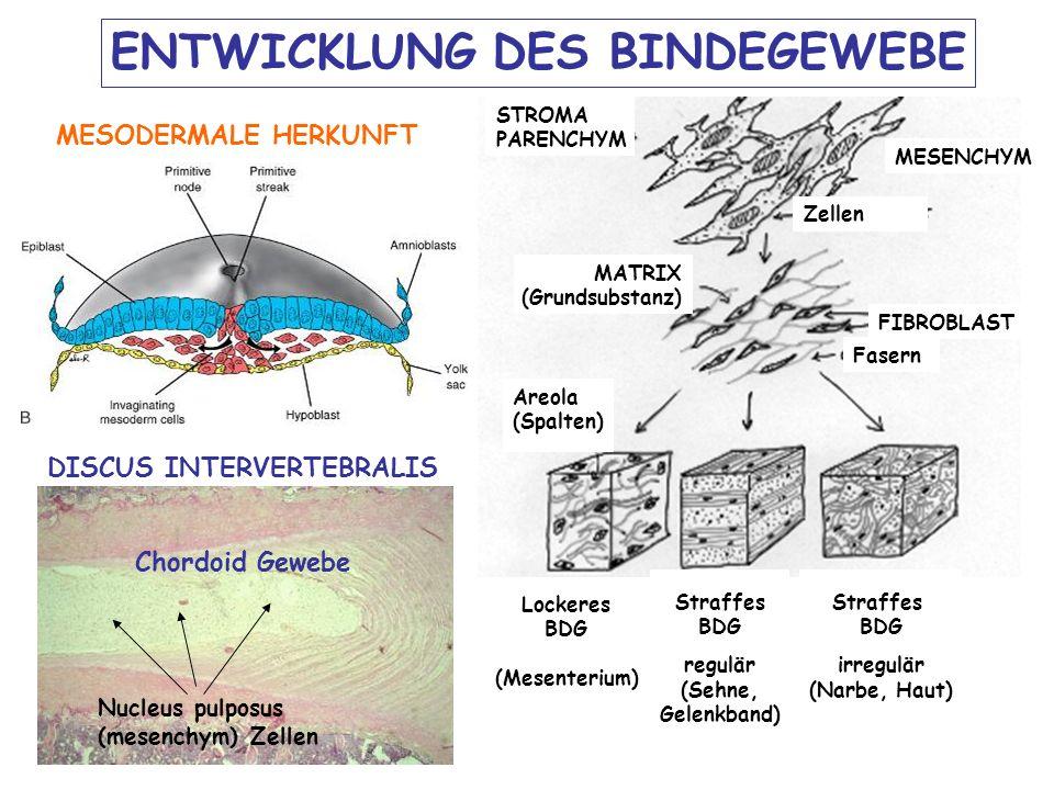 ENTWICKLUNG DES BINDEGEWEBE Areola (Spalten) FIBROBLAST MATRIX (Grundsubstanz) Zellen MESENCHYM STROMA PARENCHYM Lockeres BDG (Mesenterium) Straffes BDG regulär (Sehne, Gelenkband) Fasern Straffes BDG irregulär (Narbe, Haut) MESODERMALE HERKUNFT DISCUS INTERVERTEBRALIS Chordoid Gewebe Nucleus pulposus (mesenchym) Zellen