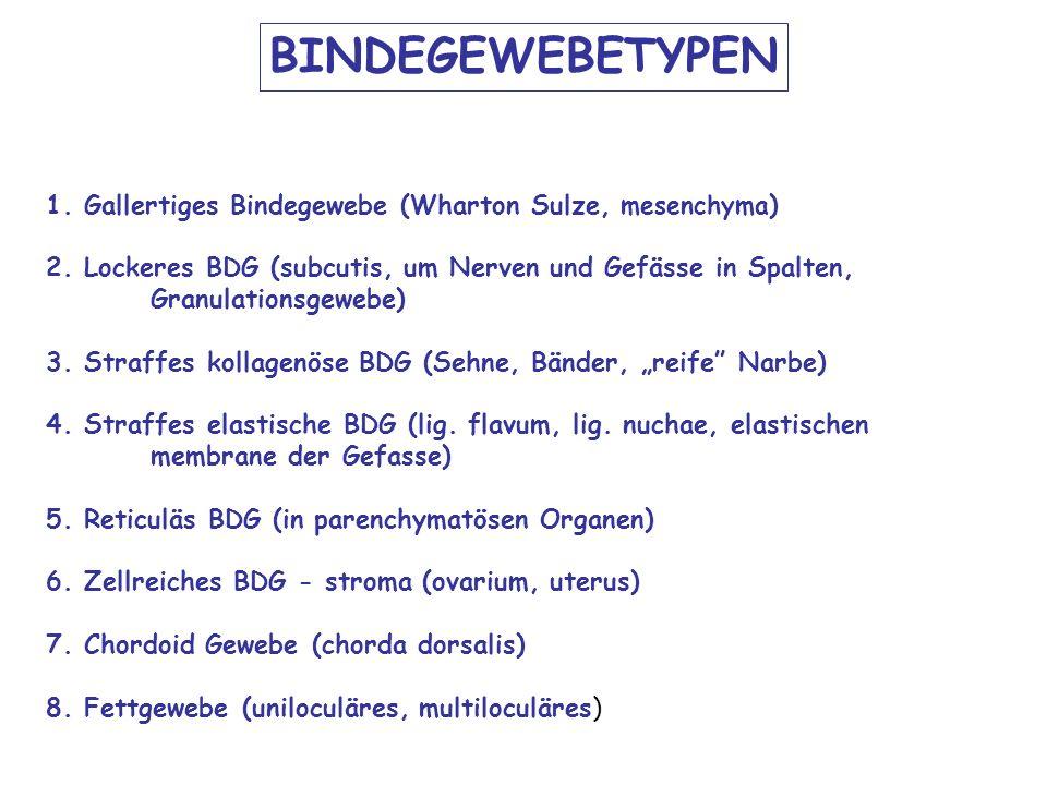 1. Gallertiges Bindegewebe (Wharton Sulze, mesenchyma ) 2. Lockeres BDG (subcutis, um Nerven und Gefässe in Spalten, Granulationsgewebe) 3. Straffes k