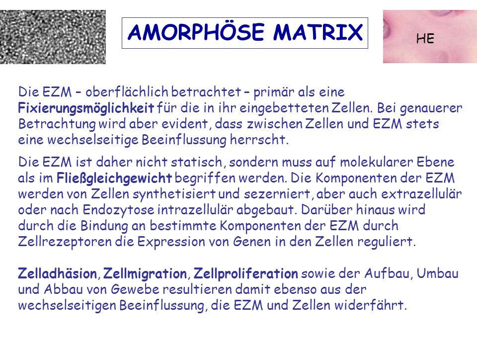 AMORPHÖSE MATRIX HE Die EZM – oberflächlich betrachtet – primär als eine Fixierungsmöglichkeit für die in ihr eingebetteten Zellen. Bei genauerer Betr