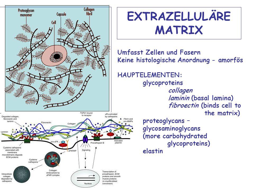 EXTRAZELLULÄRE MATRIX Umfasst Zellen und Fasern Keine histologische Anordnung - amorfös HAUPTELEMENTEN: glycoproteins collagen laminin (basal lamina) fibroectin (binds cell to the matrix) proteoglycans – glycosaminoglycans (more carbohydrated glycoproteins) elastin