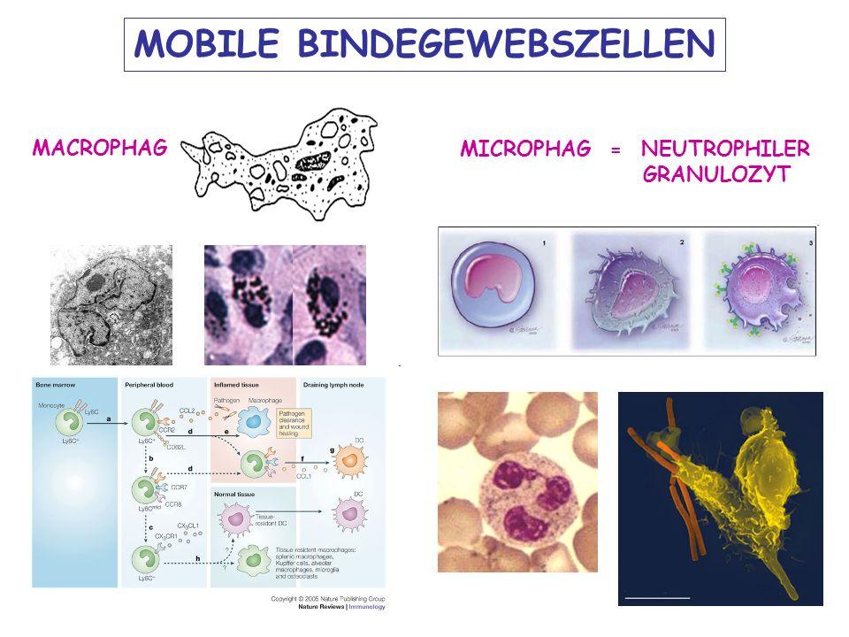 AMORPHÖSE MATRIX Aufgabe HE Aus den oben dargelegten Eigenschaften der EZM resultieren unter anderem folgende Funktionen oder Wechselwirkungen in verschiedenen Geweben und Organen: Formgebung von Geweben und Organen - Wassergehalt der Gewebe - Elastizität der Gewebe - Zugfestigkeit und Stabilität der Knochen, Sehnen und Bänder Zytokinreservoir - Signaltransduktion in Geweben - Verankerung und Polaritätsvorgabe für Zellen - Beeinflussung von Wundheilungsprozessen -Filterleistung der Niere aufgrund ihrer speziellen -Basalmembranen