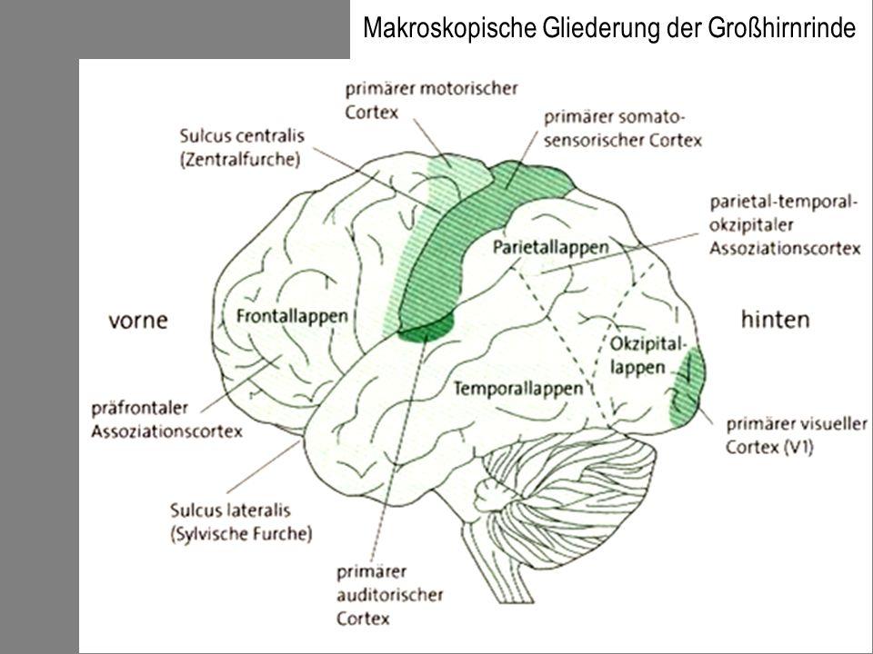 Makroskopische Gliederung der Großhirnrinde