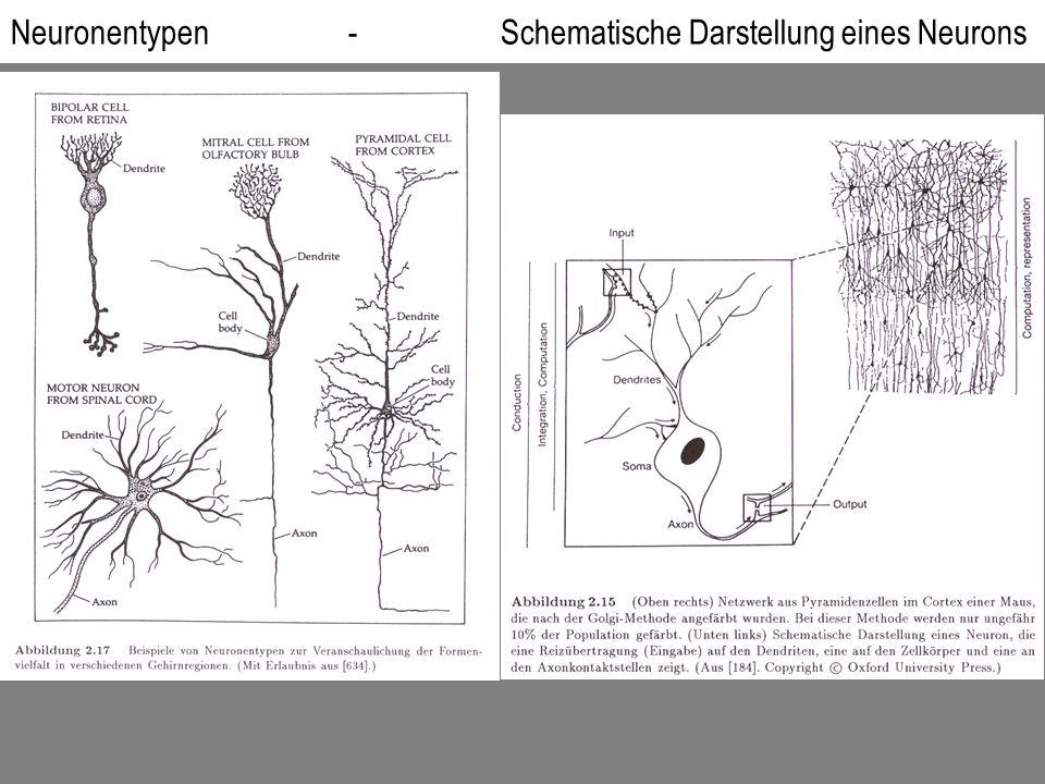 Neuronentypen - Schematische Darstellung eines Neurons