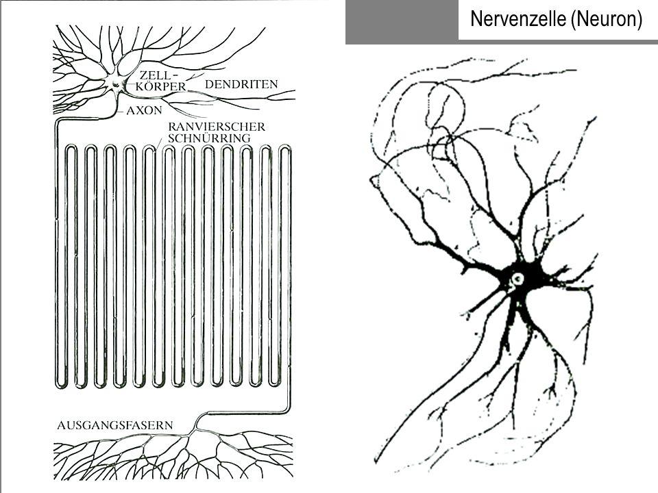 Eingänge des Nervensystems: Einige Nervenzellen (z.B.