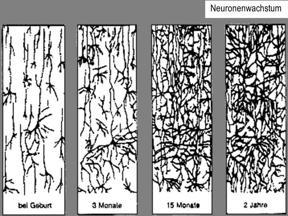 Synaptische Verbindungen bei einem Neugeborenen Synaptische Verbindungen bei einem drei Monate alten Kind Synaptische Verbindungen bei einem zwei Jahre alten Kind Neuronenwachstum
