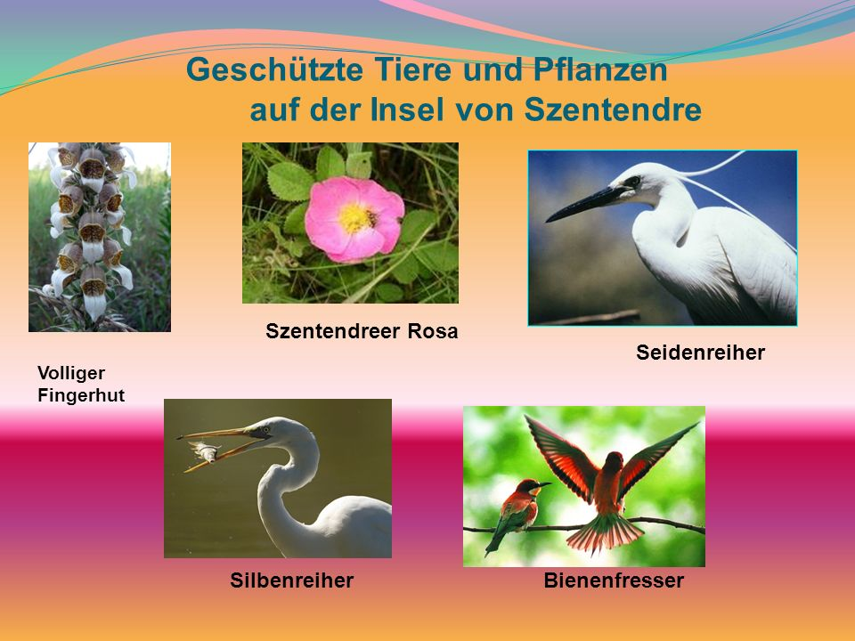 Geschützte Tiere und Pflanzen auf der Insel von Szentendre Volliger Fingerhut Szentendreer Rosa Seidenreiher SilbenreiherBienenfresser