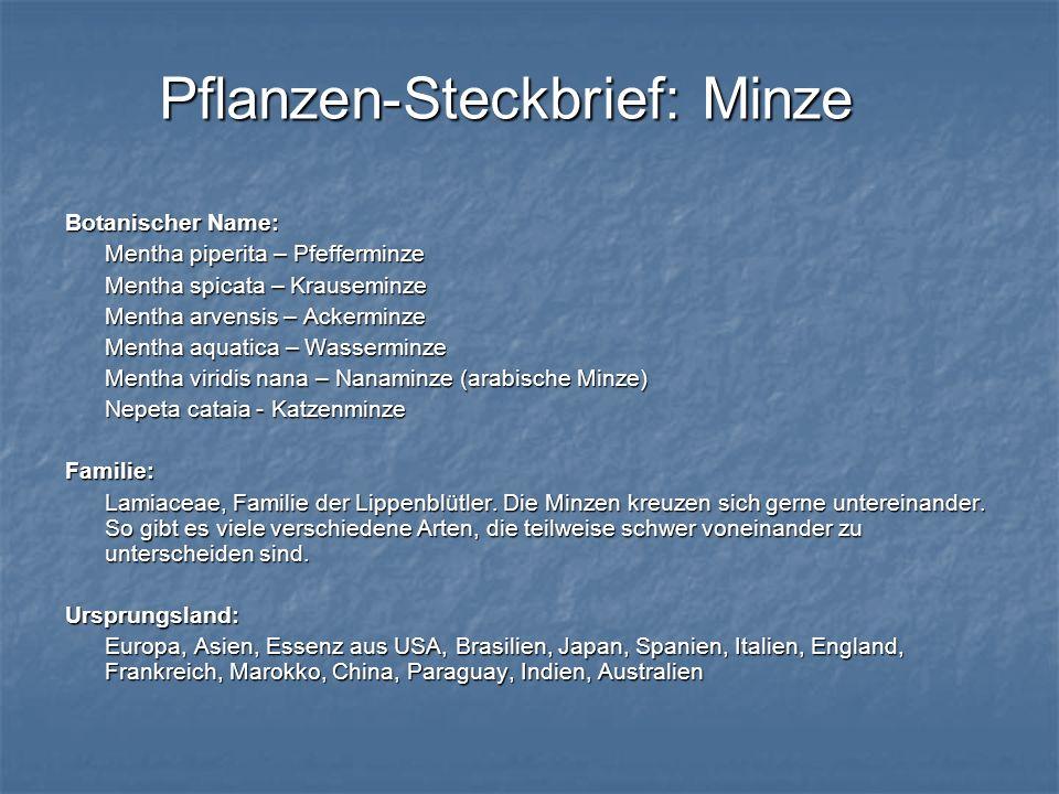 Pflanzen-Steckbrief: Minze Botanischer Name: Mentha piperita – Pfefferminze Mentha spicata – Krauseminze Mentha arvensis – Ackerminze Mentha aquatica