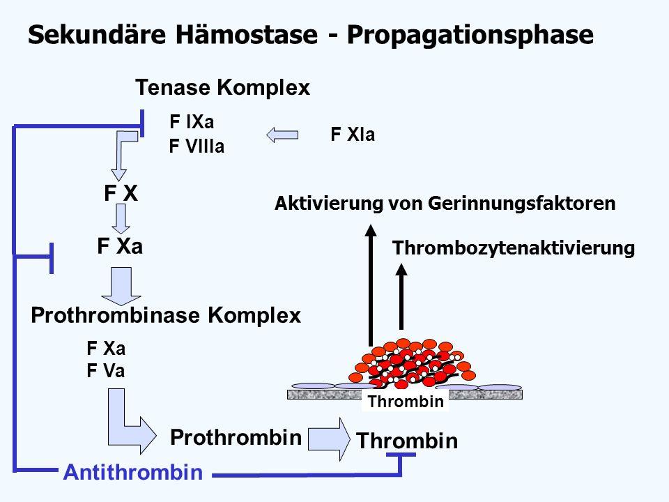 Thrombozytenaktivierung F X F Xa Thrombin Prothrombin Antithrombin F Xa F Va Prothrombinase Komplex Tenase Komplex F VIIIa F IXa Aktivierung von Gerin