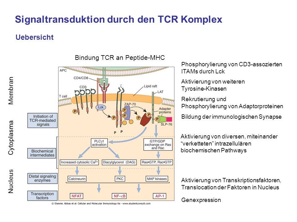 Signaltransduktion durch den TCR Komplex Uebersicht Phosphorylierung von CD3-assozierten ITAMs durch Lck Aktivierung von weiteren Tyrosine-Kinasen Rek