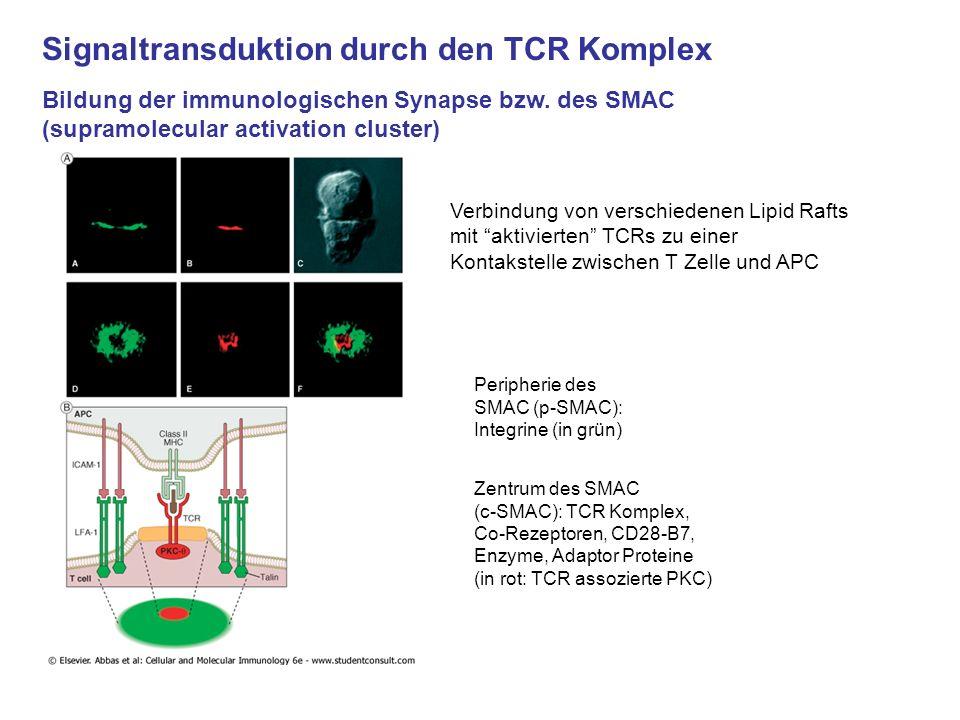Signaltransduktion durch den TCR Komplex Bildung der immunologischen Synapse bzw. des SMAC (supramolecular activation cluster) Verbindung von verschie