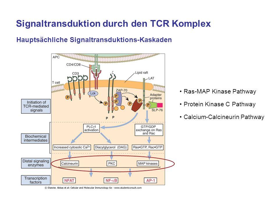 Hauptsächliche Signaltransduktions-Kaskaden Ras-MAP Kinase Pathway Protein Kinase C Pathway Calcium-Calcineurin Pathway