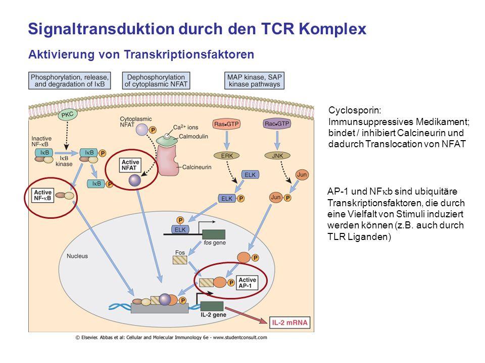 Signaltransduktion durch den TCR Komplex Aktivierung von Transkriptionsfaktoren Cyclosporin: Immunsuppressives Medikament; bindet / inhibiert Calcineu