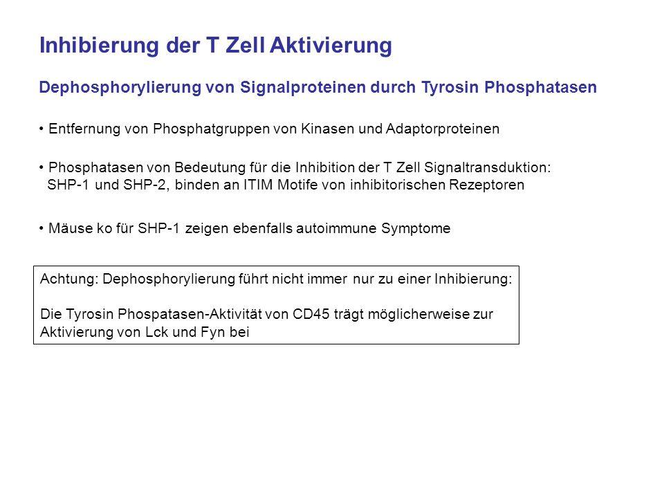 Inhibierung der T Zell Aktivierung Dephosphorylierung von Signalproteinen durch Tyrosin Phosphatasen Entfernung von Phosphatgruppen von Kinasen und Ad