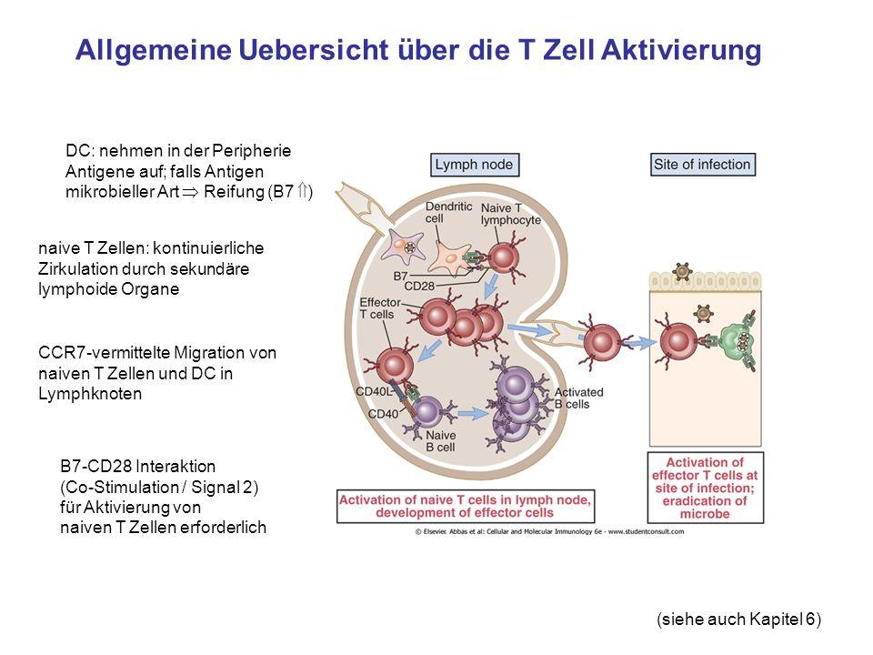 Allgemeine Uebersicht über die T Zell Aktivierung Produktion von Zytokinen Aktivierung von Effektor-/Memory T Zellen braucht in der Regel kein Signal 2 mehr IL-2 abhängige autokrine Proliferation / klonale Expansion