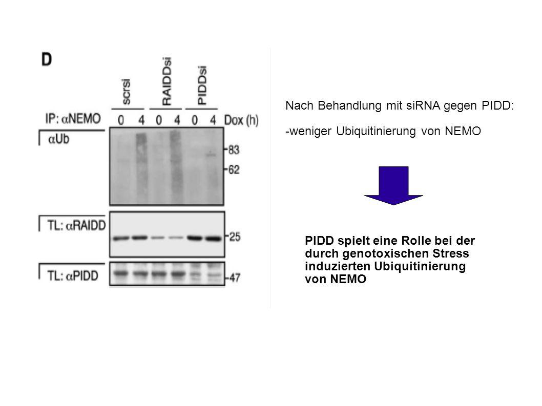 Nach Behandlung mit siRNA gegen PIDD: -weniger Ubiquitinierung von NEMO PIDD spielt eine Rolle bei der durch genotoxischen Stress induzierten Ubiquitinierung von NEMO